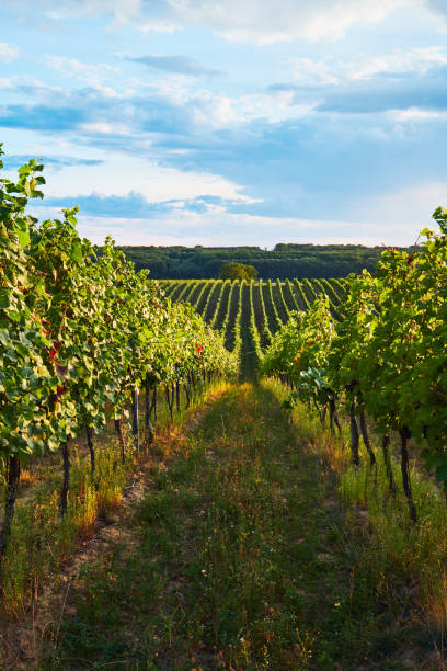 Rows of green vineyards in summer Rows of green vineyards in summer, South Moravian Region, Czech Republic moravia stock pictures, royalty-free photos & images