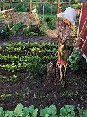 Rows of healthy seedlings growing in country vegetable garden.