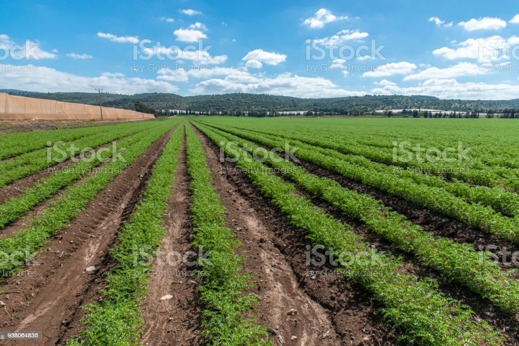 Rows of humus crops in a field stock photo