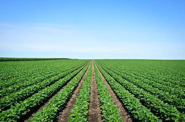 rows of iowa soybeans - soya fasulyesi stok fotoğraflar ve resimler