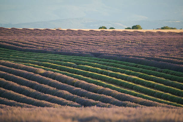 Rows Of Lavender Flowers stock photo