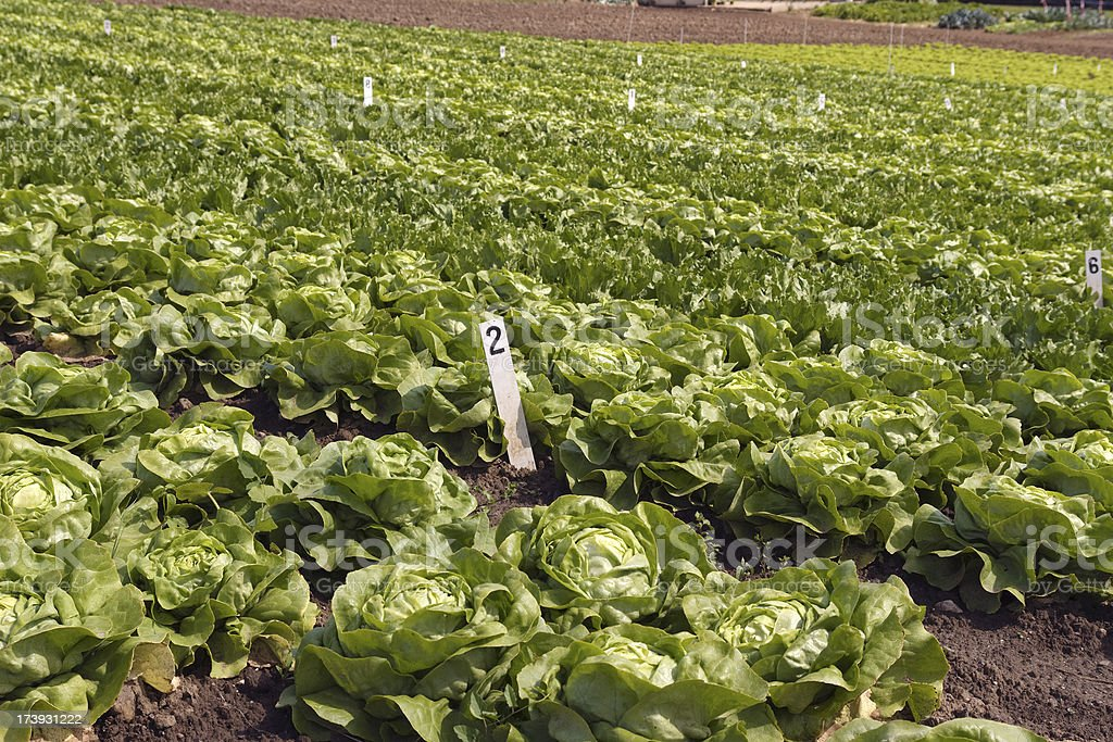 Rows of lettuce on a field royalty-free stock photo