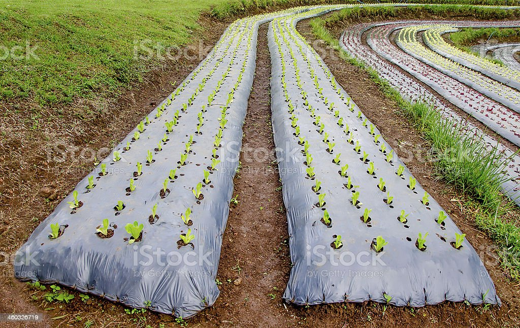 Rows of lettuce plants growing on farm stock photo