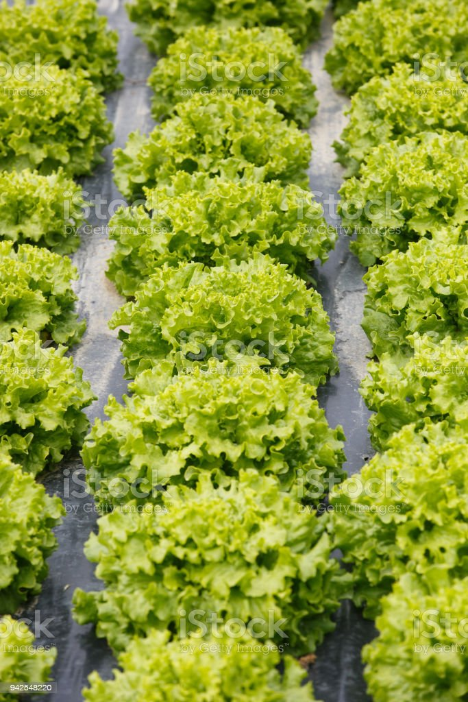 Rows of lettuce with plastic mulch as protection stock photo