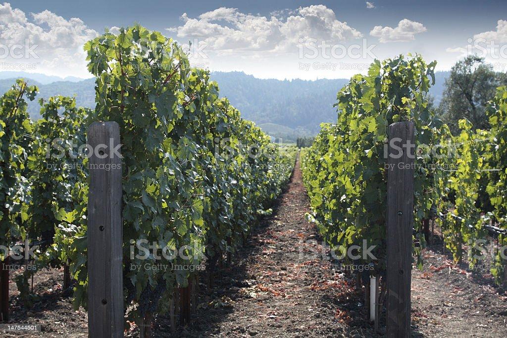 Rows of Napa Gravevines stock photo