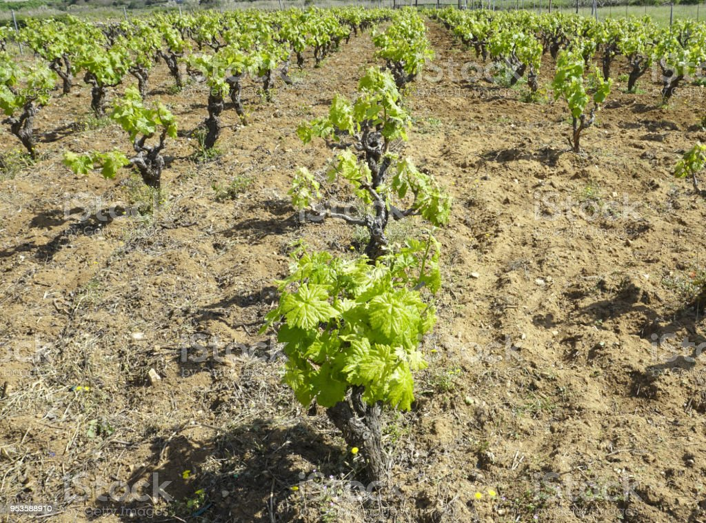 Rows of old vineyard with green leaves on vine in spring stock photo