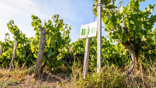 Rangées de vigne organique dans un vignoble de Champagne. - Photo