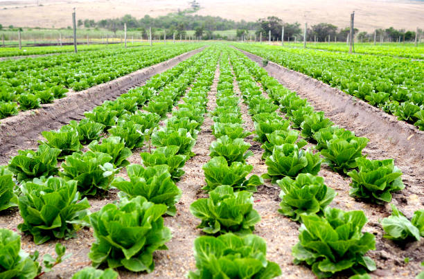 Rows of organic lettuce on a farm stock photo
