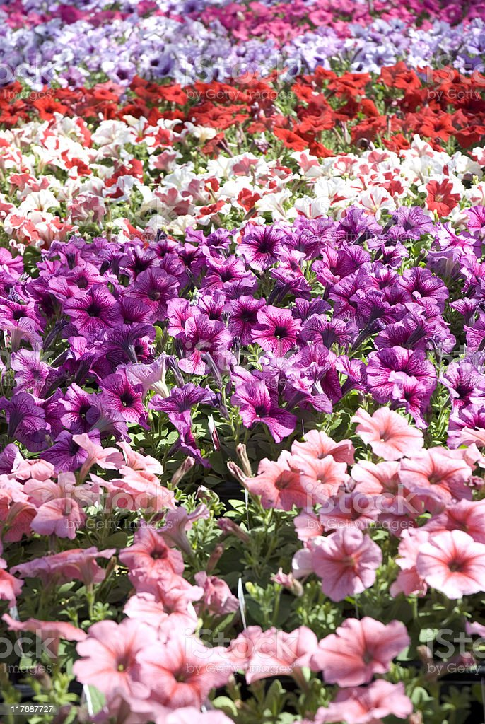 Rows of Petunias Close Up royalty-free stock photo