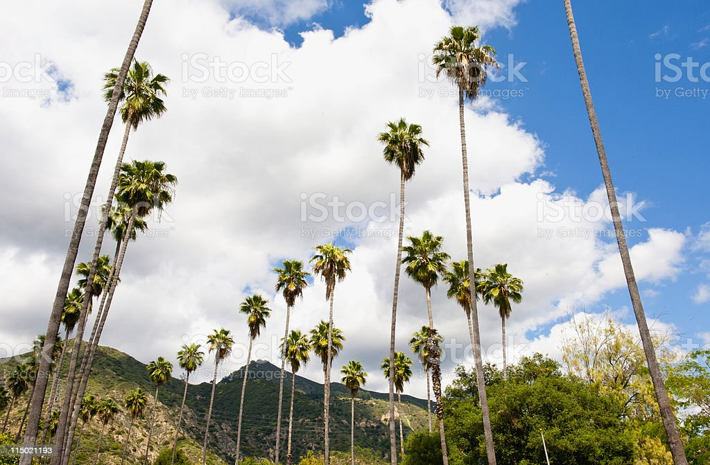 Rows of Pine Trees Against Blue Sky stock photo