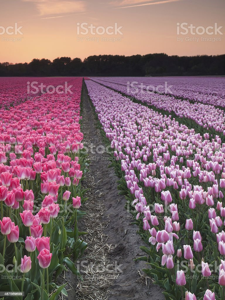rows of pink and  purple tulips at sunset stock photo