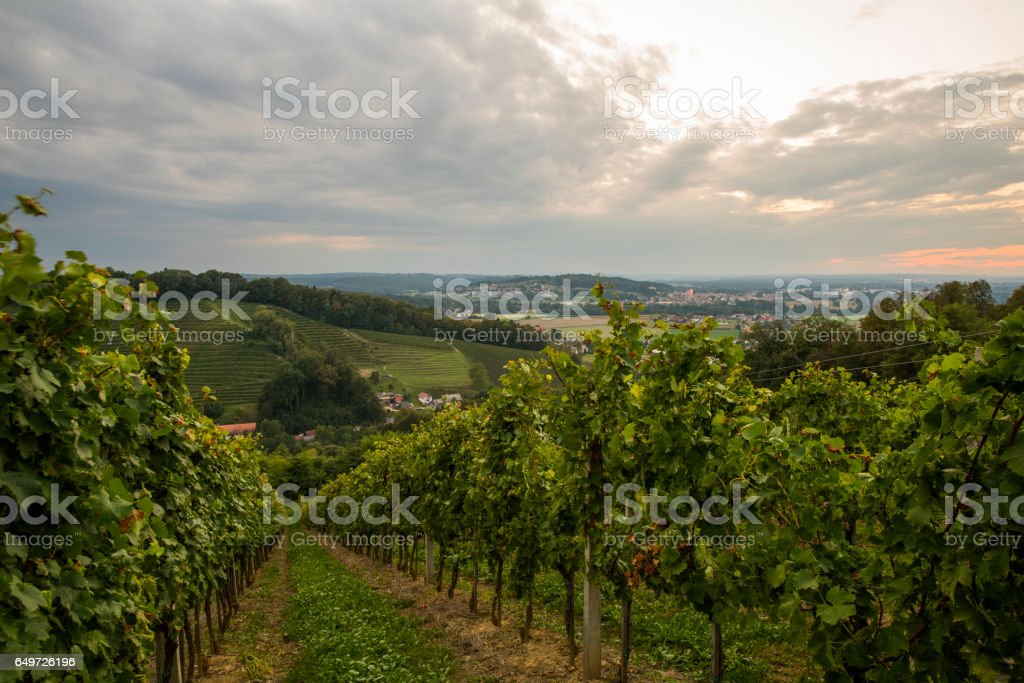 Rows of plants at vinery on hill stock photo