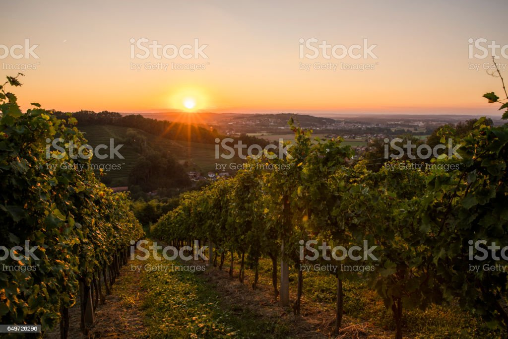 Rows of plants at vineyard on hill stock photo