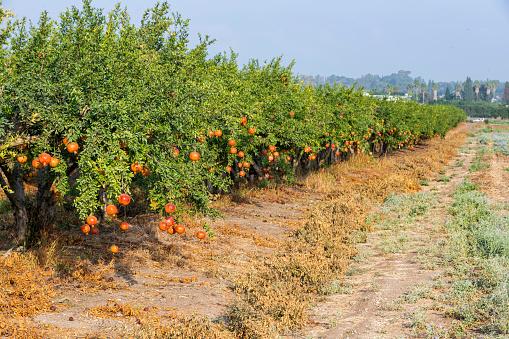 Oranges growing on tree orchard, Mugla, Turkey