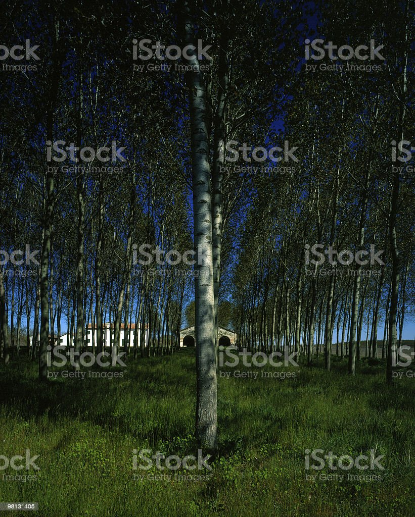 Rows of poplar trees royalty-free stock photo