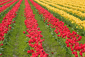 Rows of closed red and yellow tulips in a field