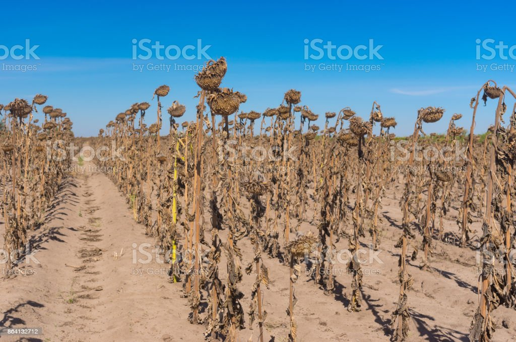 Rows of ripe sunflowers standing like old soldiers rank against blue cloudless sky in central Ukraine royalty-free stock photo