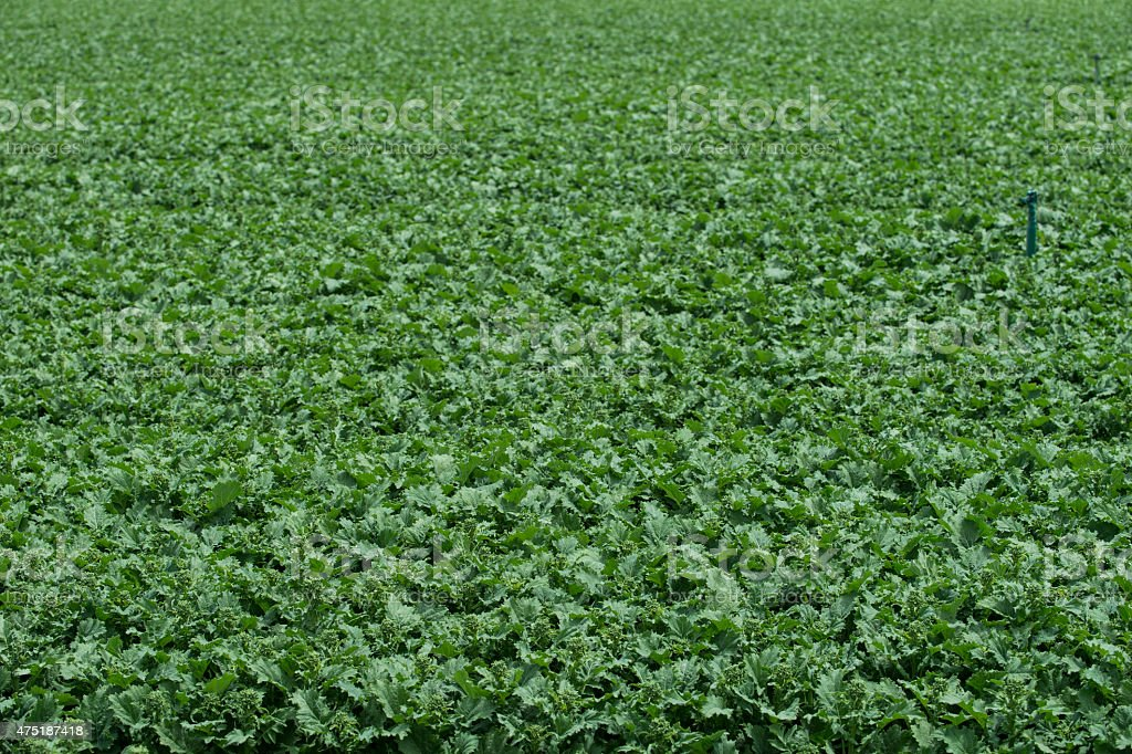 Rows of Ripening Rapini Growing on a California Coastal Farm stock photo