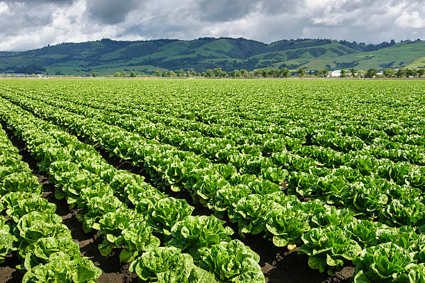 rows of romaine lettuce growing on farm - lettuce stock photos and pictures