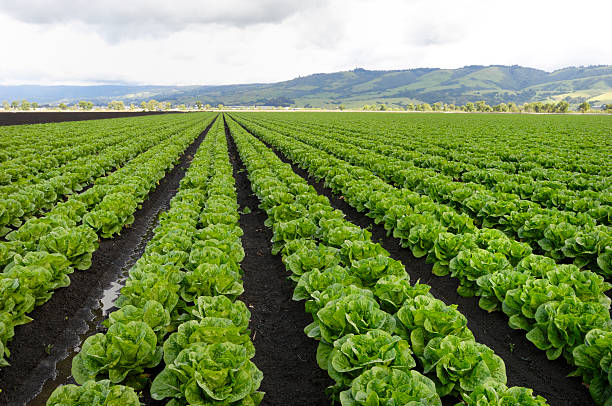 rows of romaine lettuce under cloudy sky growing on farm - lettuce stock photos and pictures