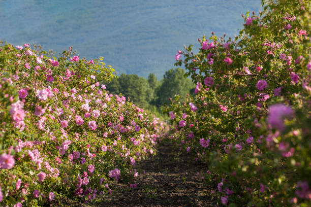 Rows Of Roses In An Agricultural Field stock photo