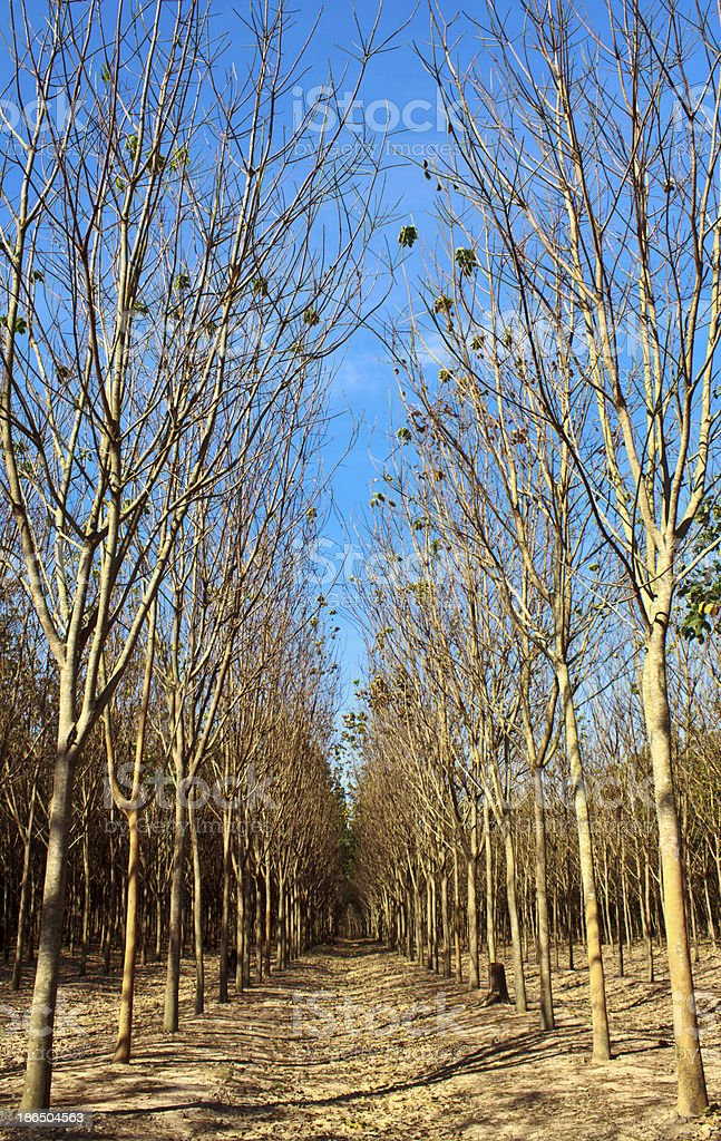 Rows of rubber trees  in a plantation royalty-free stock photo