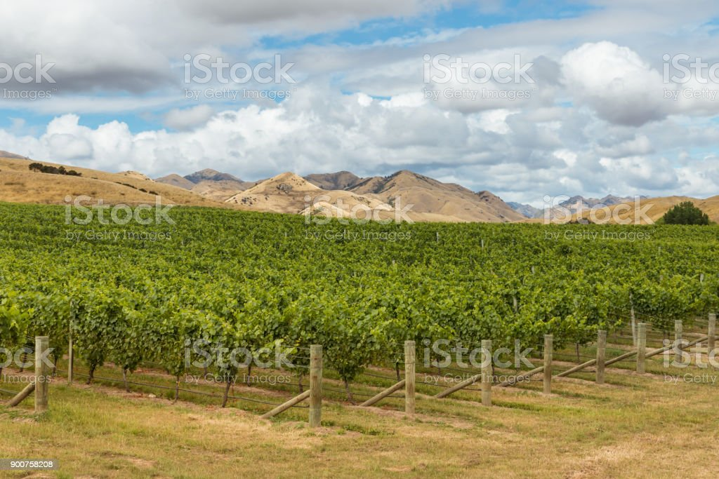 rows of Sauvignon Blanc grapevine growing in vineyard in New Zealand stock photo