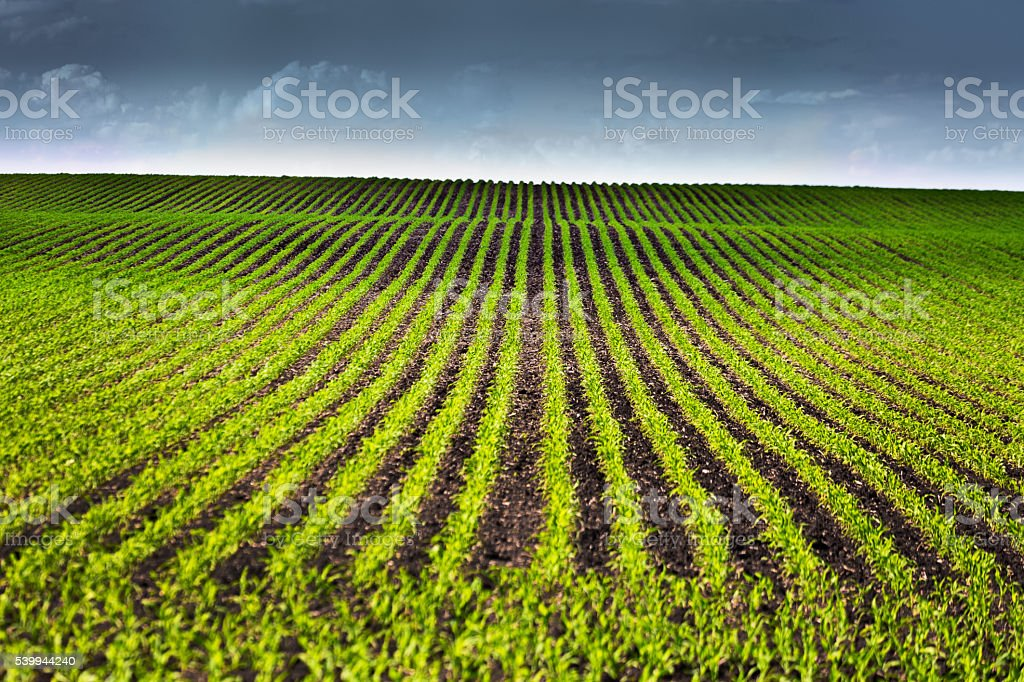 Rows of Seedling Corn Field Under Threatening Stormy Sky stock photo