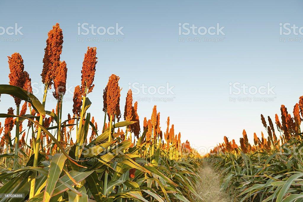 Rows of Sorghum stock photo