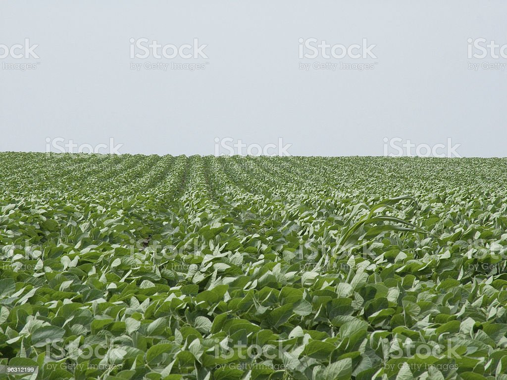 Rows of Soy Beans royalty-free stock photo