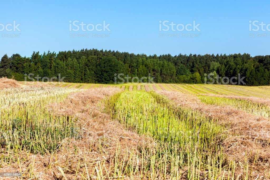 rows of straw stock photo