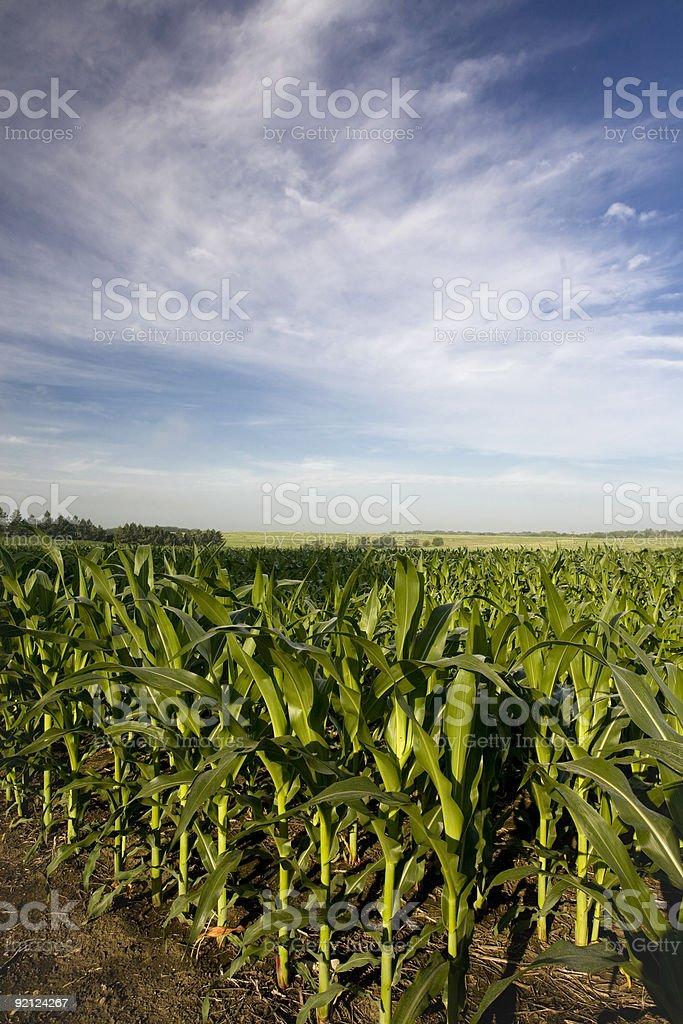 Rows of Sun Lit Field Corn Under Blue Sky royalty-free stock photo