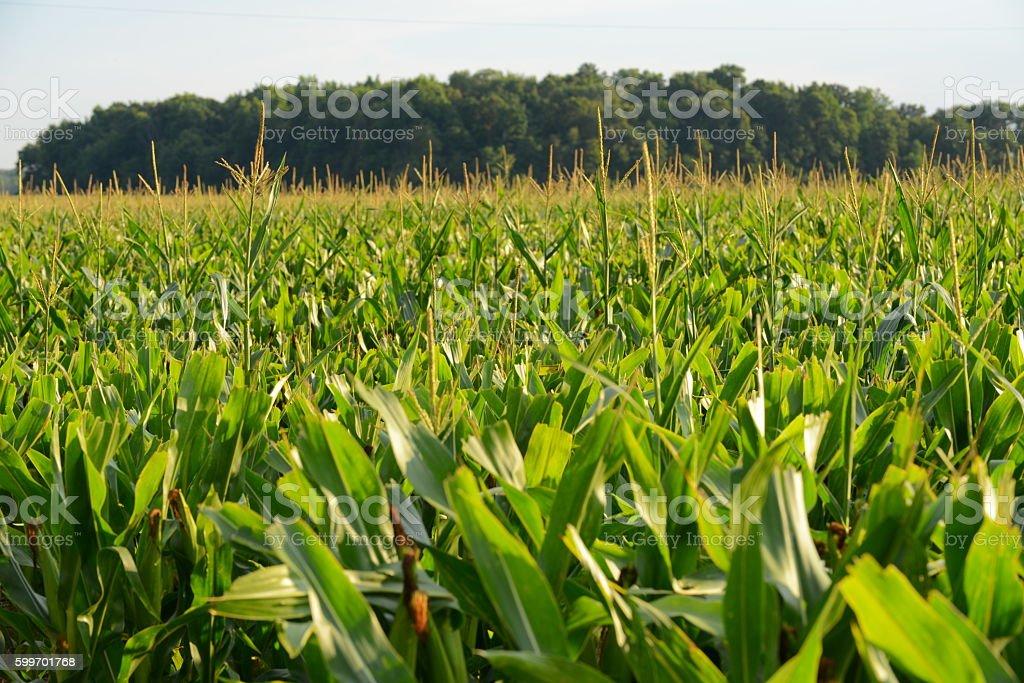 rows of sweet corn stock photo
