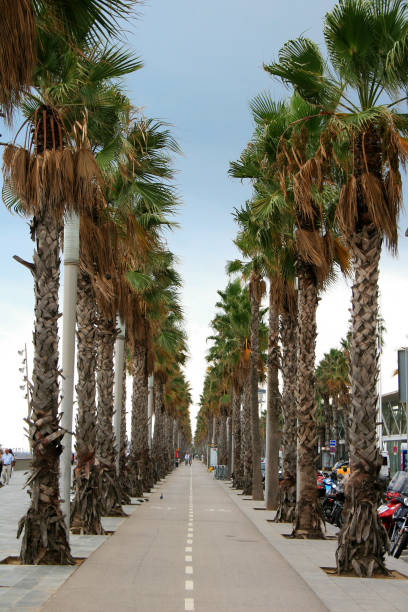 Rows of tall palm trees lining a footpath stock photo