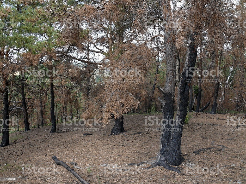 rows of the black burnt trees royalty-free stock photo