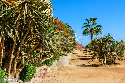 1146115746istockphoto Rows of the green dracaena (dragon tree) in a park on summer 1164566115