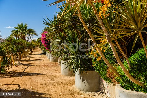 1146115746istockphoto Rows of the green dracaena (dragon tree) in a park on summer 1165741713