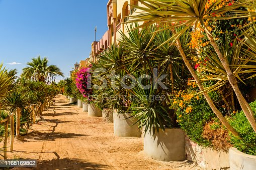 1145104190 istock photo Rows of the green dracaena (dragon tree) in a park on summer 1168169802