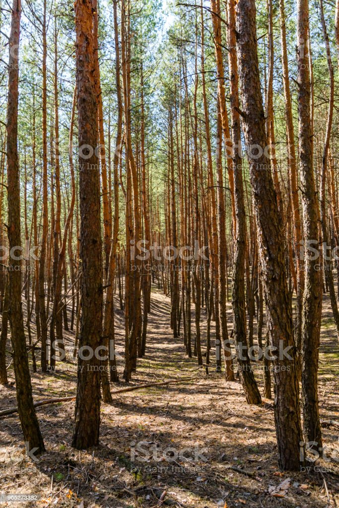 Rows of the tall pine trees in a forest on spring royalty-free stock photo