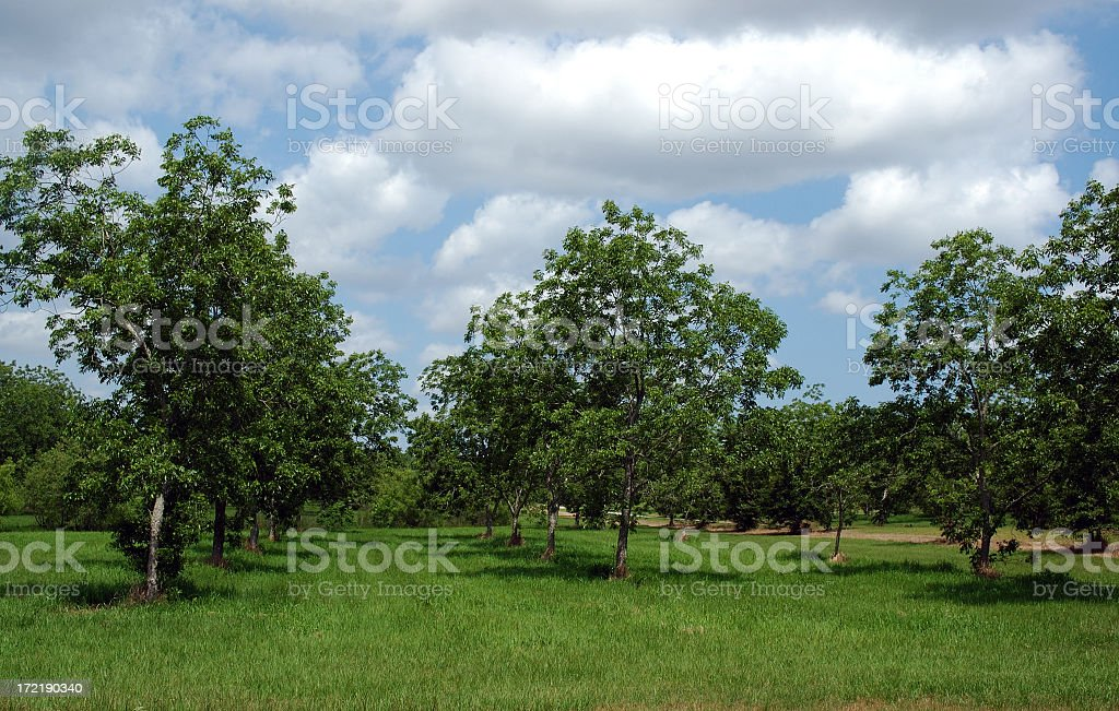 Rows of trees in bloom in a pecan orchard stock photo