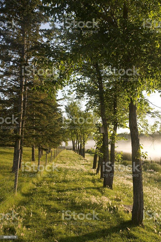 Filari di alberi nella nebbia di mattina foto stock royalty-free