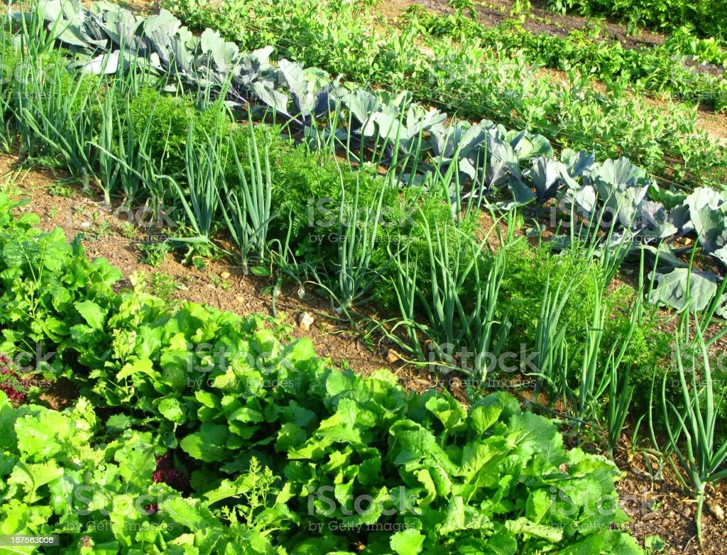 Rows of vegetables in a garden royalty-free stock photo