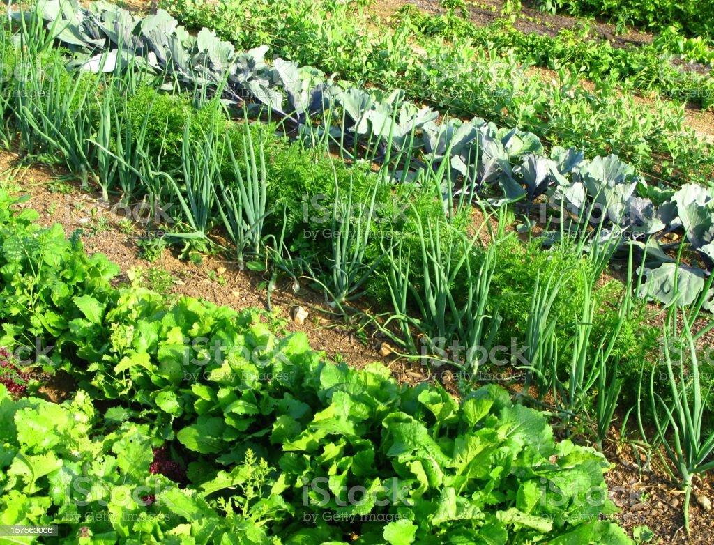 Rows of vegetables in a garden stock photo
