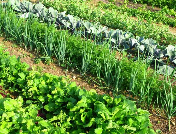 big gemüsegarten - radieschen salat stock-fotos und bilder