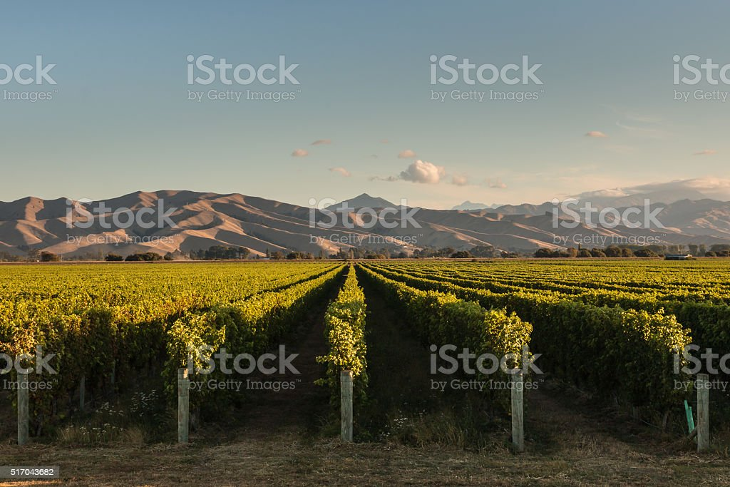rows of vine in vineyard at sunset stock photo