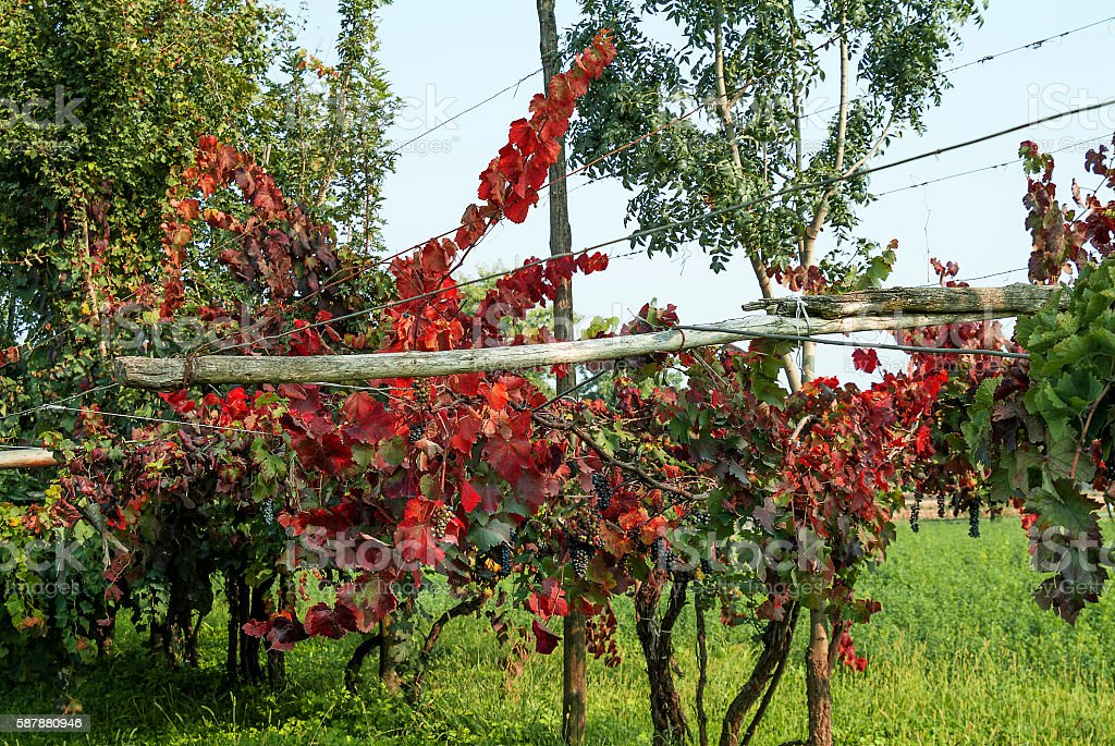 Rows of vine with lambrusco grapes stock photo