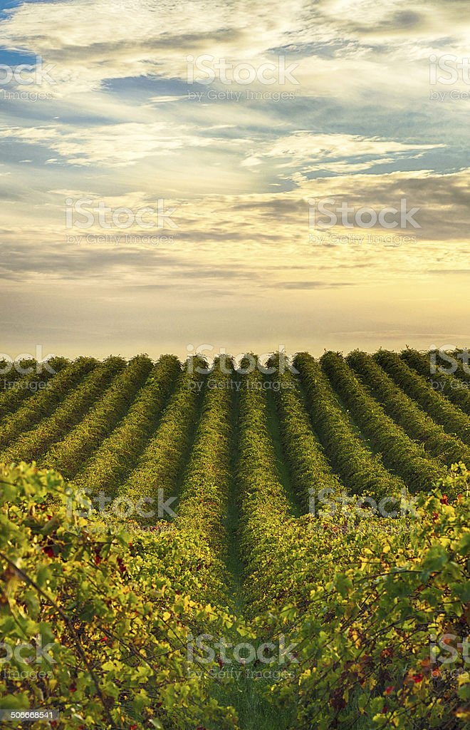 Rows of vines at McLaren Vale vineyard stock photo