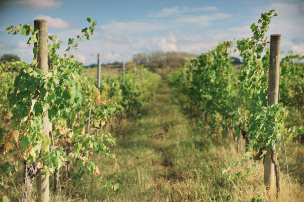 rows of vines, Tuscany stock photo