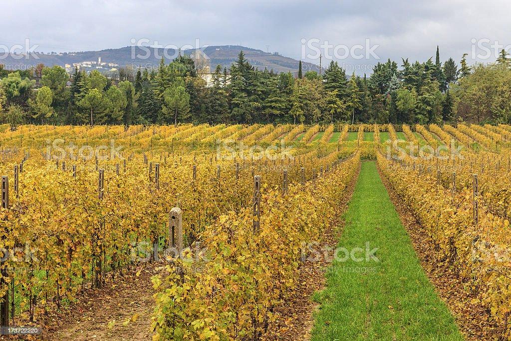 Rows Of Vines, Valpolicella royalty-free stock photo