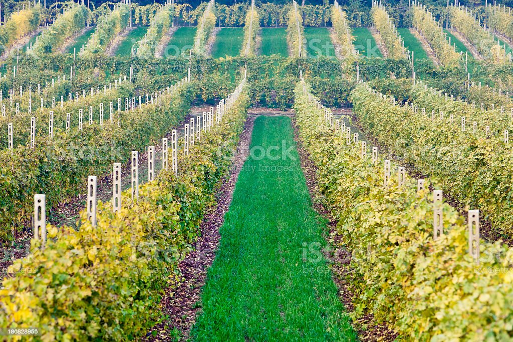 Rows Of Vines, Valpolicella royalty-free stock photo